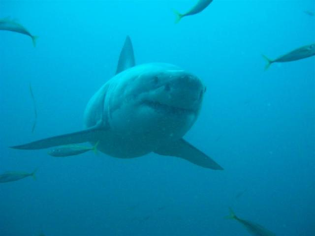 Carcharodon carcharias - White Shark